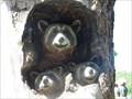 Image for Racoon Tree, Folsom California
