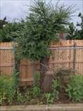 Image for Omnivorous tree at Cimarron M.S. - Edmond, OK