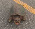 Image for Common Snapping Turtle Crossing - N Council near Coffee Creek, Oklahoma City, Oklahoma