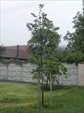 Image for The tree of liberty - Kolaje, Czech Republic