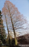 Image for University Of Manchester Metasequoia Glyptostroboides - Manchester, UK