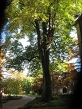Image for Largest White Basswood Tree - St. Louis, MO