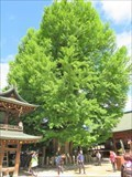 Image for Ginkgo biloba from Hida Kokubun-ji Temple - Takayama, Japan