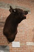 Image for FIRST -- Santa Gertrudis Bull, King Ranch, Kingsville TX