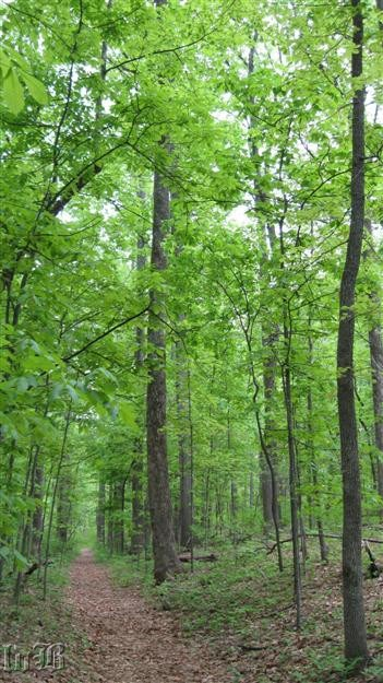 A walk through the forest takes you through tall oaks and tulip trees, some reach to 100`-120` tall.