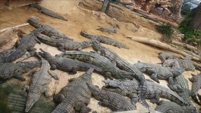 la sieste des crocodiles