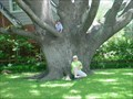Image for World's Largest Texas Red Oak (TX State Champ)
