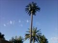 Image for 136th Street Pseudo Palms - Chandler, Arizona