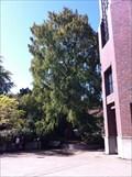 Image for Dawn Redwood, University of Oregon - Eugene, Oregon