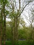 Image for Heritage Ash - Swineshead Wood, Swineshead, Bedfordshire, UK