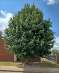 Image for Marty Edwards Tree - First Presbyterian Church, Stillwater, OK
