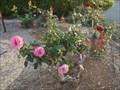 Image for Coronation Rose Garden - Manning Hospital, Taree, NSW, Australia