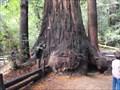 Image for Lt. John C. Fremont tree - Felton, California
