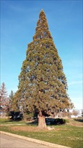 Image for Sequoia Gigantea Tree - Montague, CA