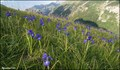 Image for Iris meadows at Gavarnie (Pyrénées  Mts., France)