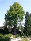 Image for Mammutbaum im Botanischen Garten - 95030 Hof/Germany/BY