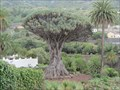 Image for OLDEST-- Dragon Tree in the World