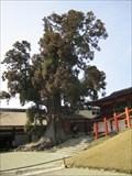 Image for Honsha osugi (Japanese Cedar) - Nara, Japan