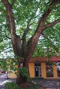 Image for Platan na Vojanove ulici v Ostrave / Plane in Vojanova street, Ostrava