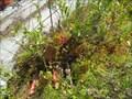 Image for Pitcher Plant - Peacham Bog, Groton State Forest - Peacham, VT