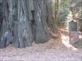 Image for Mountain Charlie Big Tree - Santa Cruz County, CA