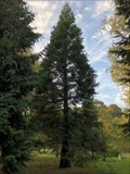 Image for Mammutbaum im Arboretum Malente - Schleswig-Holstein, Germany