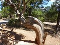 Image for Bent cedar trail tree - Grand Canyon -