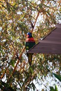 Image for Lorikeet Forest - Long Beach Aquarium - Long Beach CA