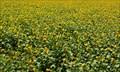 Image for Sunflower Fields - Beja, Portugal