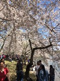Image for Cherry Blossom Trees - Washington, DC