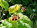 Image for Wild Raspberries - Salmo, BC