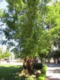 Image for Dawn Redwood - Redwood City, CA