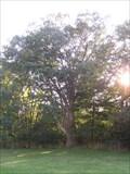 Image for Wurster Park Bur Oak - Ann Arbor