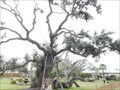 Image for Zachary Taylor Oak - Rockport, TX