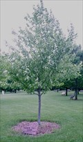 Image for Millennium Maple Tree - Dubuque, Ia