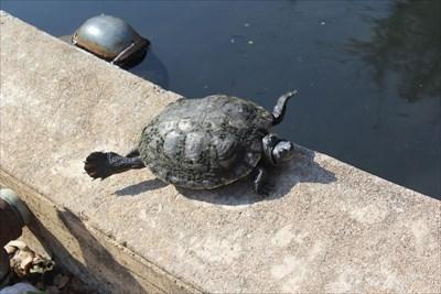 UT Turtle Pond Rescue -- University of Texas, Austin TX