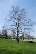 Image for Sycamore Tree - Burlington, NJ