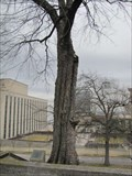 Image for American War Mothers Memorial Tree - Nashville, Tennessee