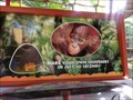 Image for Busch Gardens -  Chimpanzees.