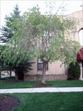 Image for Julie R. Macier Tree - Haddonfield, NJ