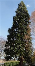 Image for University Of Manchester Sequoiadendron Giganteum - Manchester, UK