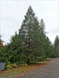 Image for Sequoiadendron giganteum - Lake Cowichan, British Columbia, Canada