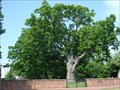 Image for Salem Oak Tree - Salem, NJ