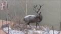 Image for Elk Herd - Philipsburg, MT