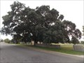 Image for Cork Tree, Tenterfield, NSW