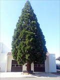Image for Sierra Redwood (Sequoia Gigantea) - Yreka, CA