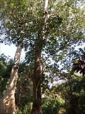 Image for TALLEST  -- Tropical Hazelnut Tree in Florida  -  Davie, FL