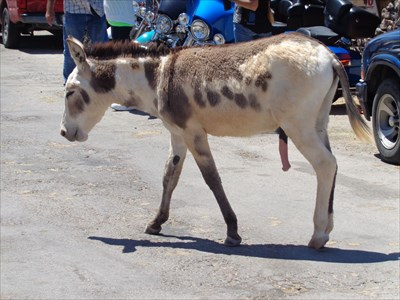 veritas vita visited The Burros of Oatman, AZ