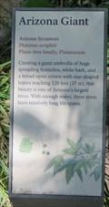 Image for Arizona Sycamore, Montezuma Well National Monument - Rimrock, AZ