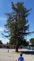 Image for Redwood Tree - San Jose, CA